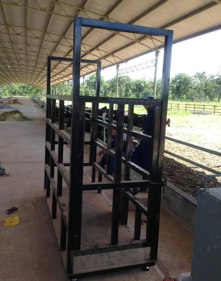Cách sử dụng cân gia súc, cân động vật