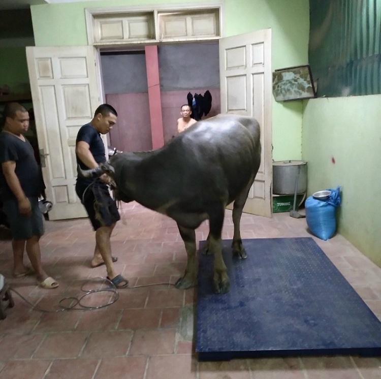 Cân bò điện tử Long Thành Đồng Nai