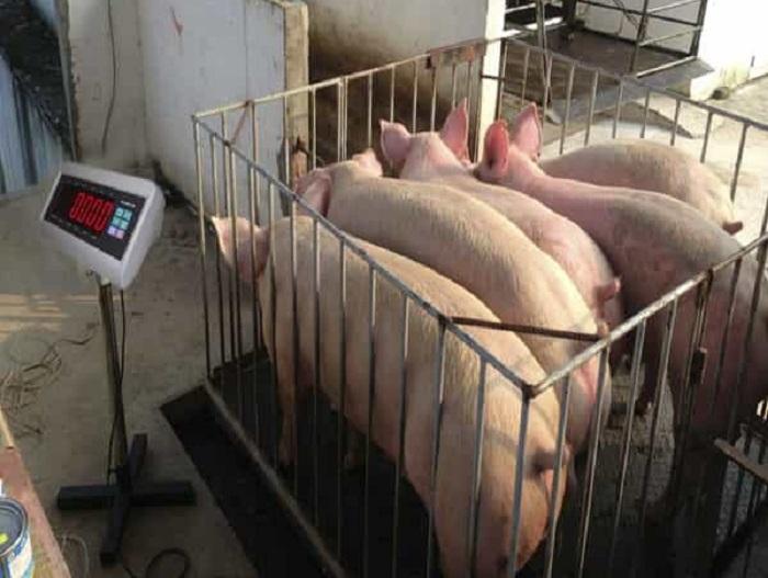 Cân điện tử cân lợn, cân heo giao hàng toàn quốc